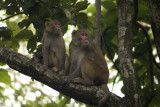 Macaques at Corbett National Park (Uttarakhand)
