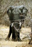 Elephant near Mvuu Camp