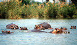 Hippos bathing in the Shire River, Liwonde National Park