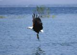 African fish eagle takes a bait on Lake Malawi