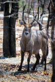 Waterbuck, Liwonde National Park