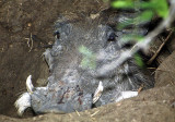 A warthog half-buried in its den