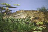 Crocodile lies in wait