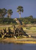 Stork beside the Rufiji