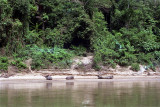Water buffalo bathe in the Tembeling