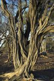 Mulga tree, Colac Station