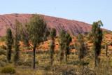 Desert oak woodland, Uluru (Ayers Rock)