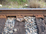 Texas Railroad kill