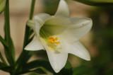Sigma 70-300 Wild Lily Macro Test