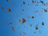 Mariposas de Michoacan , Mexico