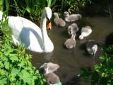 Swans 2007