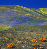 Gorman Hills - Poppies & Wildflower-Covered Rolling Hills