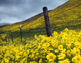 Tremblor Range - Coreopsis Field & Barbed Wire Fence