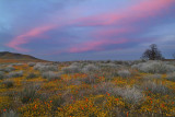 Antelope Valley Poppy Preserve - Sunset Color