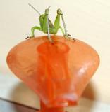Grasshopper on my Kitchen Dispenser