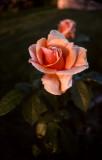 April 2nd - Rose