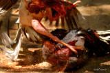 Cuba 2007 : Pelea de gallos - Fighting cocks