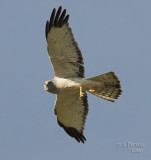 Female Northern Harrier with nest material