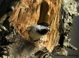 Chickadee Excavating Nest Cavity