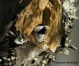 Chickadee Excavating a Nest