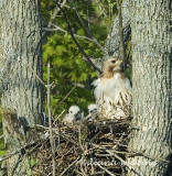 Redtail Hawk With Two Young