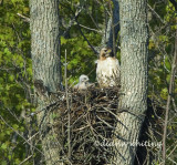 Redtail with Young