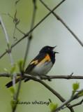Redstart Singing