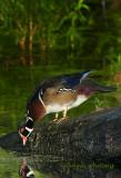 Wood Duck Drinking