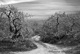 The old Apple Orchard