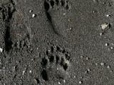 Bear prints!!!