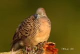 Geopelia striata - Peaceful Dove