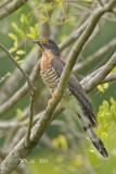 Cuculus sparverioides - Large Hawk Cuckoo