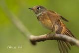 Muscicapa ferruginea - Ferruginous Flycatcher