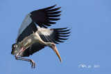 Mycteria leucocephala - Painted Stork