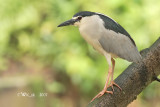 Ardeidae (Egrets, Herons, Bitterns)