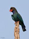 Dollarbird  Scientific name - Eurystomus orientalis  Habitat - Forest edge and clearings.  [350D + Sigma 300-800 DG + Sigma 2x TC]