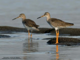 Redshanks and Greenshanks