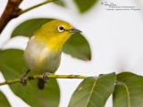 Lowland White-eye  (a near Philippine endemic)   Scientific name - Zosterops meyeni   Habitat - Second growth, scrub and gardens.   [20D + 500f/4 L IS + Canon 1.4x, hand held]