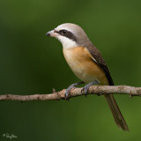 Brown Shrikes