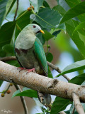 Black-chinned Fruit-dove  (a near Philippine endemic, male)   Scientific name - Ptilinopus leclancheri leclancheri   Habitat - Uncommon in forest patches up to 1500 m.   [350D + Sigmonster]