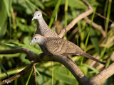 Zebra Dove   Scientific name: Geopelia striata   Habitat: Common in open country, cultivated areas and gardens.   [1DM2 + 100-400 L IS + Sigma 1.4x TC, 560 mm, wide open, hand held]