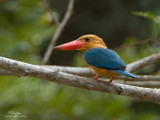 Stork-billed Kingfisher  Scientific name - Halcyon capensis (endemic gouldi race)  Habitat - Uncommon along coasts and estuaries, and large rivers.  [20D + 500 f4 L IS + Canon 1.4x TC, tripod/gimbal head]