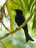 Spangled Drongo  Scientific name - Dicrurus hottentottus  Habitat - Forest and second growth below 1500 m.  [20D + 500 f4 L IS + Canon 1.4x TC, tripod/gimbal head]