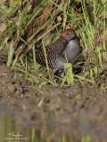 Slaty-breasted Rail   Scientific name - Gallirallus striatus   Habitat - Freshwater wetlands, ricefields and drier grasslands.  [20D + 500 f4 L IS + Canon 1.4x TC, tripod/gimbal head]