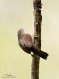 Striped Tit-Babbler (provisional ID)  Scientific name - Macronous gularis  Habitat - Undergrowth of forest, second growth, scrub and edge below 1500 m.   [20D + 500 f4 L IS + Canon 1.4x TC, tripod/gimbal head]