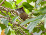 Grey-cheeked Bulbul   Scientific name - Criniger bres  Habitat - Lowland forest, edge and second growth.   [20D + 500 f4 L IS + Canon 1.4x TC, tripod/gimbal head]