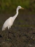 Intermediate Egret   Scientific name - Egretta intermedia   Habitat - Fresh water marshes, ricefields and tidal flats.   [20D + 500 f4 L IS + Canon 1.4x TC, tripod/gimbal head]