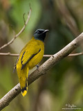 Black-headed Bulbul   Scientific name - Pycnonotous atriceps   Habitat - Open country and forest edge.   [20D + 500 f4 L IS + Canon 1.4x TC, tripod/gimbal head]