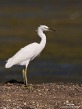 Chinese Egret (non-breeding plumage)   Scientific name - Egretta eulophotes   Habitat - Rare in shallow tidal flats and ricefields.   [20D + 500 f4 L IS + Canon 1.4x TC, tripod/gimbal head]