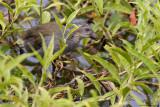 Purple Swamphen (immature)  Scientific name - Porphyrio porphyrio   Habitat - Uncommon in freshwater and brackish wetlands.   [1DM2 + 500 f4 L IS + Canon 1.4x TC, bean bag, uncropped full frame]